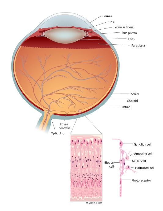 Eye cross-section with inset of retinal cell layers
